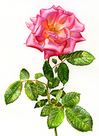 Painting Glorious Rose Flowers in Watercolor – in 7 Stages – by Lela Stankovic